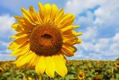 Girassol amarelo de encontro às nuvens Paisagem do VERÃO fotografia de stock royalty free