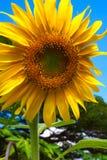Girassol amarelo do close-up contra o céu azul Imagens de Stock Royalty Free