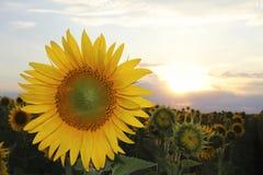Girassol amarelo grande no por do sol contra Fotos de Stock