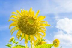 Girassol amarelo no céu azul fotografia de stock