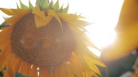 Girassol amarelo no close-up do alargamento do sol filme