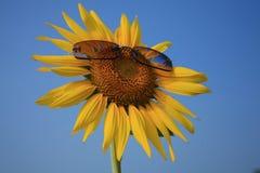 Girassol amarelo nos óculos de sol com céu azul Imagens de Stock