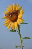 Girassol amarelo nos óculos de sol com céu azul, Tailândia. Imagem de Stock
