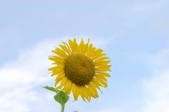 Girassol amarelo sob o céu imagens de stock royalty free