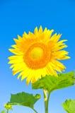 Girassol bonito Fotografia de Stock Royalty Free
