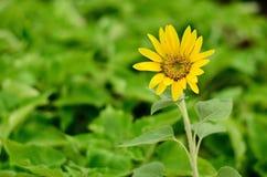 Girassol bonito Foto de Stock