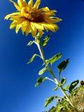 Girassol bonito no amarelo brilhante contra escuro - céu azul imagens de stock