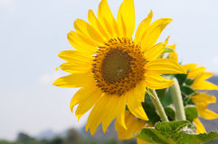 Girassol bonito no jardim da natureza Imagem de Stock Royalty Free