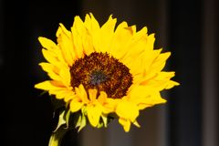 Girassol bonito no nascer do sol fotografia de stock royalty free