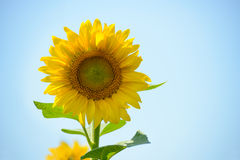 Girassol brilhante bonito contra o céu azul Foto de Stock