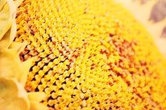 Girassol brilhante, imagem artística Fotos de Stock Royalty Free