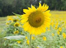 Girassol brilhante no campo Fotografia de Stock Royalty Free