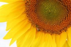 Girassol com a abelha Fotos de Stock Royalty Free