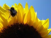 girassol com abelha imagem de stock