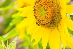 Girassol com abelha Fotos de Stock