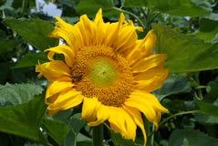 Girassol com abelha Imagem de Stock Royalty Free