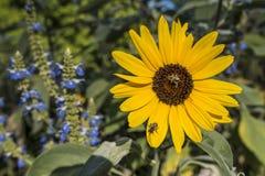 Girassol com abelha Imagens de Stock