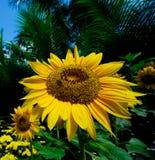Girassol com abelha Fotografia de Stock