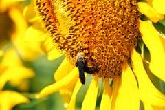 Girassol com abelha pequena fotografia de stock royalty free