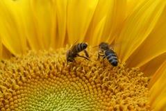 Girassol com abelhas Imagem de Stock Royalty Free