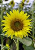 Girassol com abelhas Fotografia de Stock Royalty Free