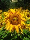 Girassol com abelhas Imagens de Stock