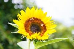 Girassol com as abelhas nele Imagens de Stock Royalty Free