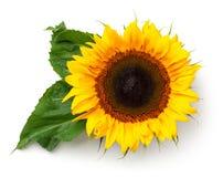 Girassol com as folhas isoladas no fundo branco Fotografia de Stock Royalty Free