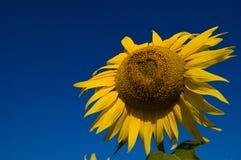 Girassol com as sementes de uma forma do coração Fotografia de Stock
