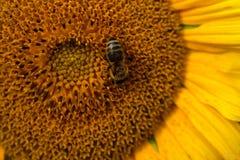 Girassol com macro da abelha Imagens de Stock Royalty Free