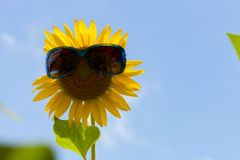 Girassol com os óculos de sol no fundo do céu Imagens de Stock Royalty Free
