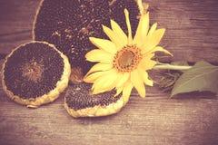 Girassol com sementes de girassol Imagens de Stock Royalty Free