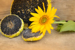 Girassol com sementes de girassol Fotografia de Stock