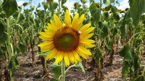 Girassol com uma abelha Imagens de Stock Royalty Free