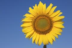 Girassol contra um céu azul claro Imagens de Stock Royalty Free