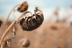 Girassol curvado seco do girassol em outubro Imagens de Stock
