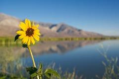 Girassol da beira do lago Fotografia de Stock Royalty Free