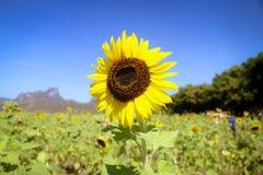 Girassol de florescência fotografia de stock