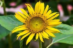 Girassol de florescência Fotos de Stock