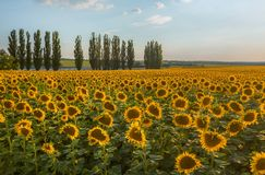 Girassol de florescência Campos das flores foto de stock royalty free