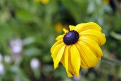 Girassol do Alasca Fotos de Stock Royalty Free