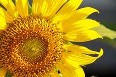 Girassol do close-up Fotografia de Stock