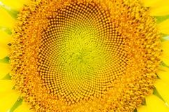 Girassol do close up Imagens de Stock Royalty Free