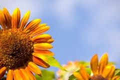 Girassol do close-up Imagens de Stock