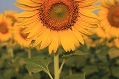 Girassol do close up Foto de Stock Royalty Free