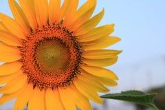 Girassol do close up Fotos de Stock