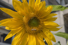 Girassol e abelha Fotografia de Stock