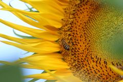 Girassol e abelha Foto de Stock Royalty Free