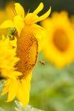 Girassol e abelha imagens de stock