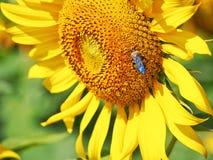 Girassol e abelha pequena fotos de stock royalty free
